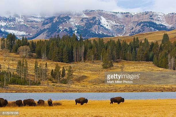 USA, the Rockies, Wild Bison
