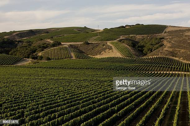 The rows of chardonnay vineyards at Foley Estate Winery are seen in this 2009 Buellton Santa Barbara County California late afternoon landscape photo
