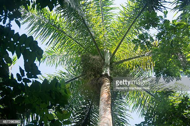 The Royal Palm Tree it is the Cuban National Tree Roystonea is a genus of eleven species of monoecious palms native to the Caribbean Islands and the...