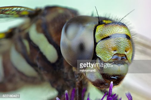 The ruddy darter (Sympetrum sanguineum)