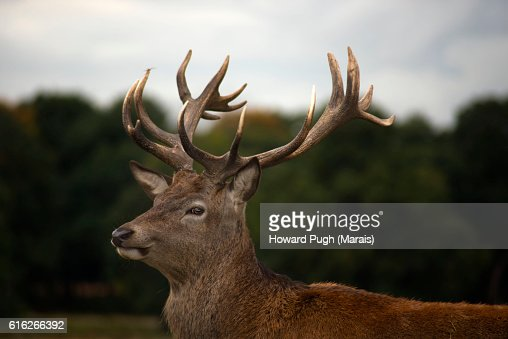 The Rut is On : Stock Photo