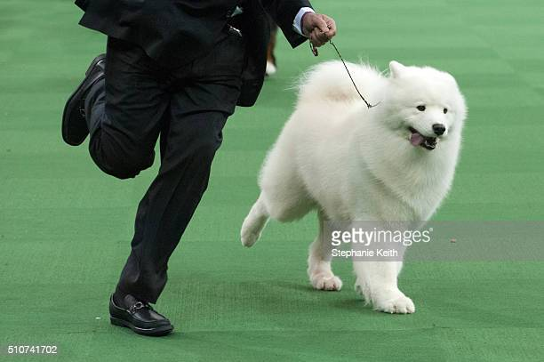 The Samoyed wins the working group on the second day of the 140th annual Westminster Kennel Club dog show at Madison Square Gardenon February 16 2016...