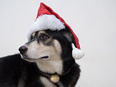 The Santa Claus dog is curious with something she heard. The dog is so funny with the red hat on her head, its kind of contrast.