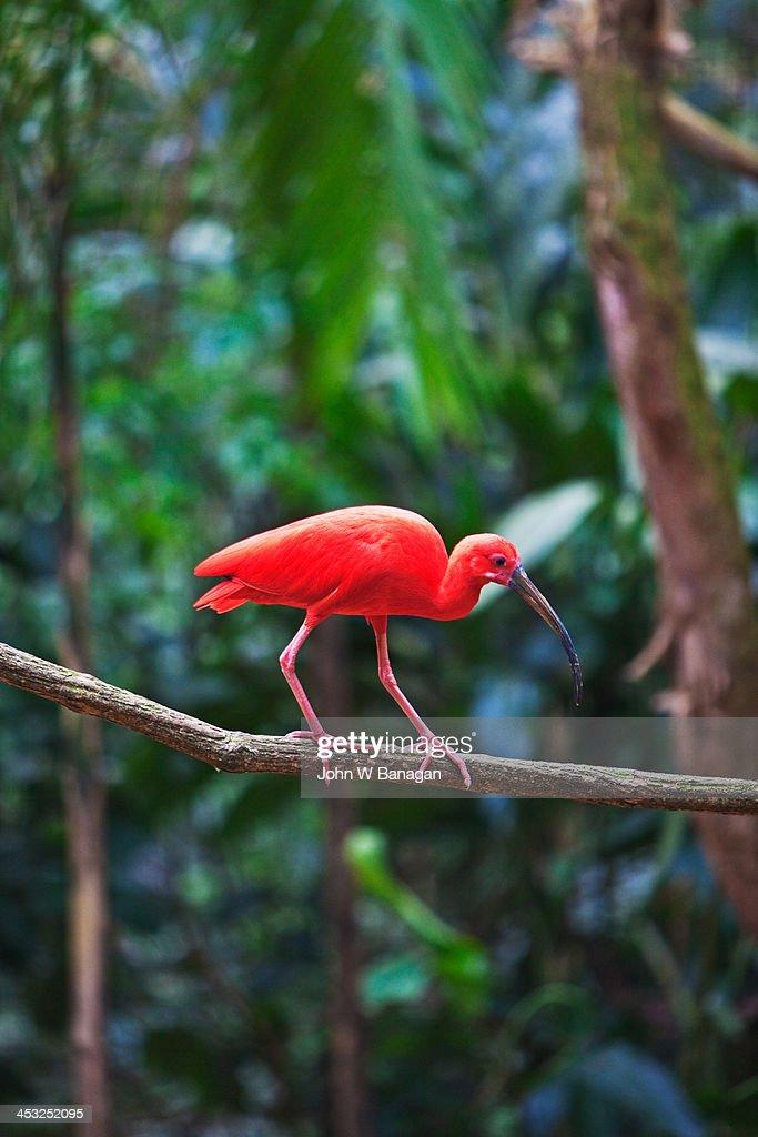 The scarlet Ibis, Iguacu, Brazil