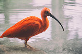 The scarlet ibis in nature