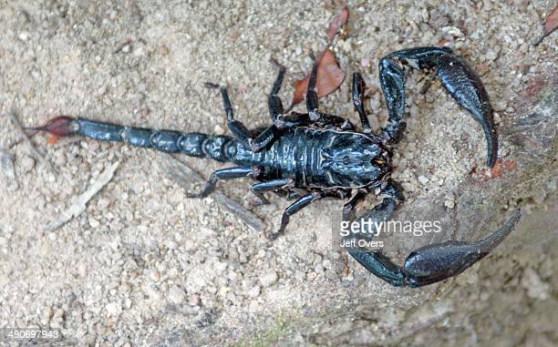 The scorpion body is divided into 2 main segments the cephalothroax and the abdomen the cephalothroax consists of the prosoma and the abdomen of the...