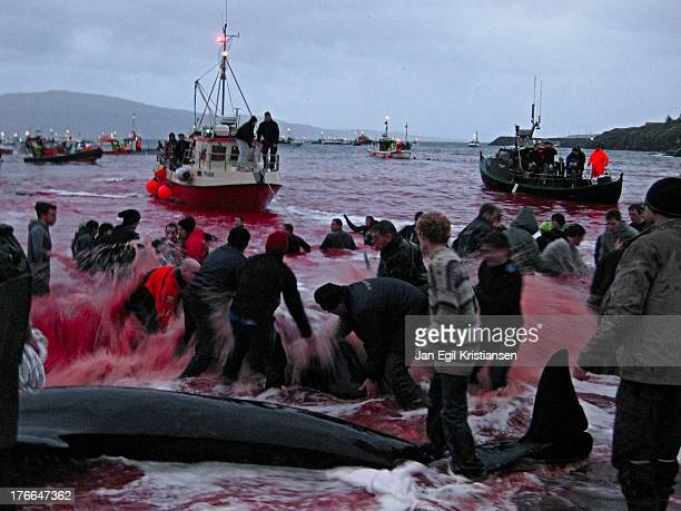 CONTENT] The sea is red with blood as pilot whales are killed on the beach in traditional Faroese whaling Globicefala Melas