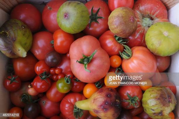 The season's first tomatoes are seen after they were picked in the vegetable garden of French chef Alain Passard in FillesurSarthe western France on...