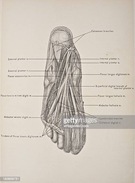 The second layer of muscles of the sole of the foot comprises the flexor accessorius and the lumbricales 1903 From 'Surgical Anatomy The Treatise of...