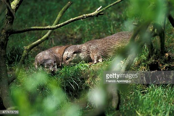 'The secretive and usually solitary Common otter also known as the British otter and the European otter A loner by nature the species is making a...