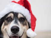 The selective focus on a nose of the cute dog with the red Santa Claus hat. This dog is kind of happy with her smile during Christmas time.