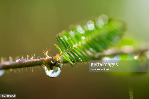 The sensitive plant with raindrops