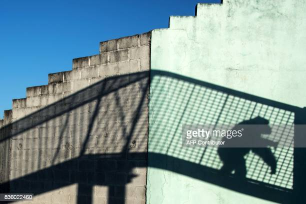 The shadow of a chimpanzee is cast on a wall at the Great Apes Project a sanctuary for apes in Sorocaba some 100km west of Sao Paulo Brazil on July...