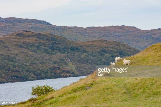 The Sheep Stand On The Water's Edge Against Mountain, Scotland, UK