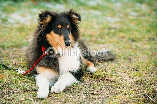 el perro pastor shetland sheltie collie cachorro al aire libre foto de stock thinkstock. Black Bedroom Furniture Sets. Home Design Ideas