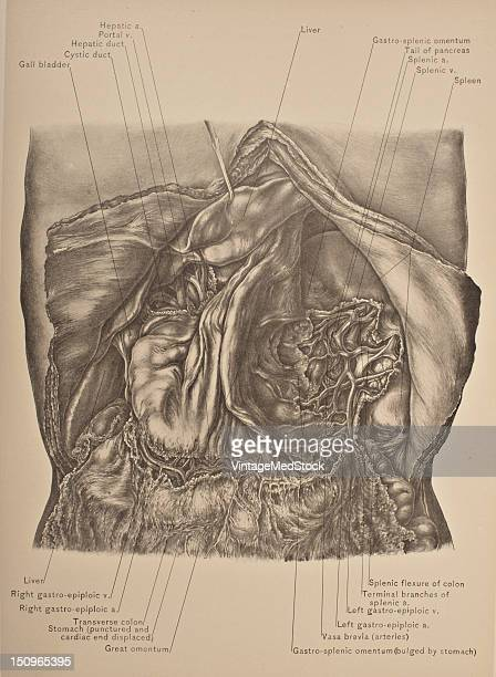 The short gastric arteries consist of from five to seven small branches which arise from the end of the splenic artery and from its terminal...