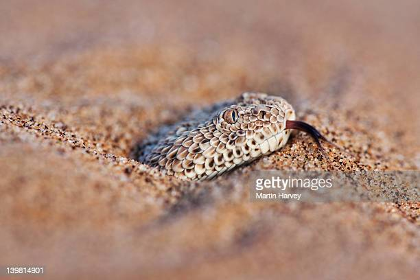 The Sidewinder Adder (Bitis peringueyi) partially buried in sand, Sossusvlei in the Namib desert. Namib-Naukluft National Park, Namibia, Africa