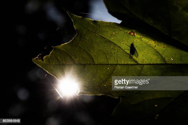 The silhouette of a fly is pictured on a leaf on September 22 2017 in Goerlitz Germany
