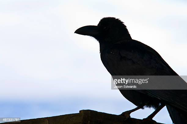 The silhouette of a large-billed crow perched on the rooftop of a house where a death ceremony is being performed.