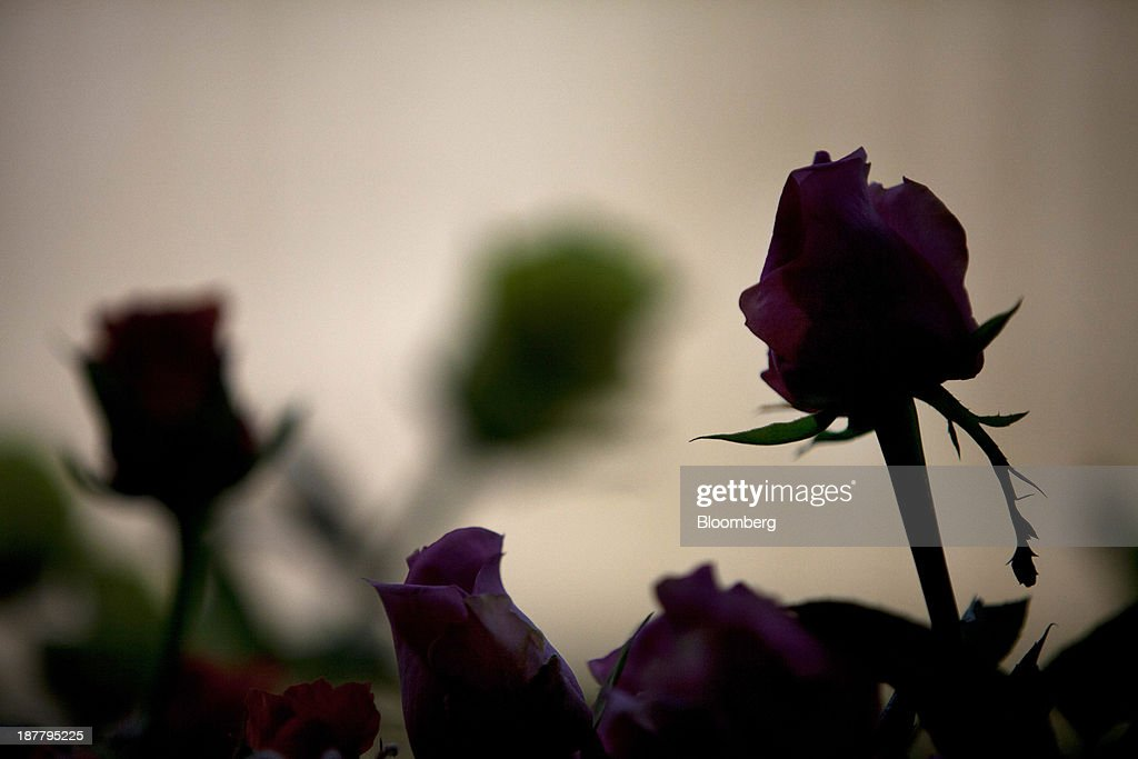 The silhouettes of bundled roses are seen at the Dramm & Echter growing facility in Encinitas, California, U.S., on Tuesday, Nov. 12, 2013. The U.S. Census Bureau is scheduled to release wholesale inventories figures on Nov. 15. Photographer: Sam Hodgson/Bloomberg via Getty Images