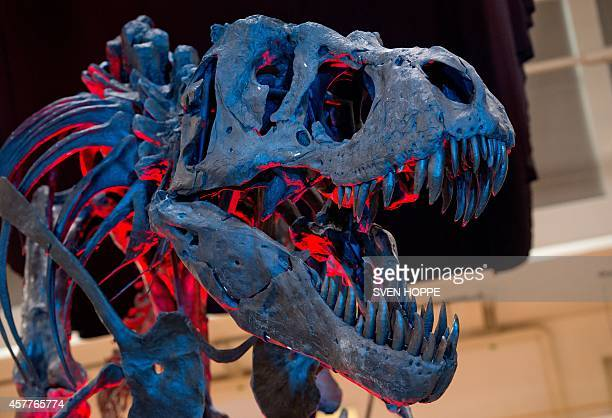 The skeleton of an adult Tyrannosaurus rex is illuminated as it is on display during 'The Munich Show' exhibition for gems jewellery minerals and...