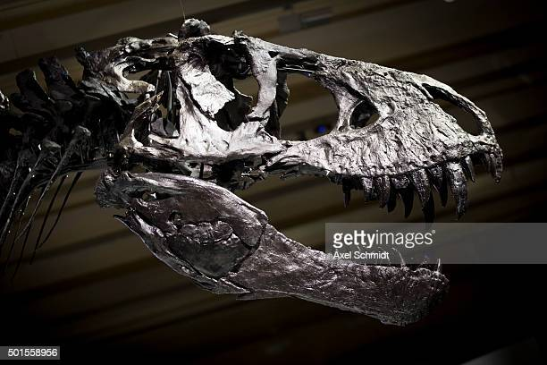 The skeleton of Tristan the Tyrannosaurus Rex seen during a media preview at the Museum fuer Naturkunde on December 16 2015 in Berlin Germany The...