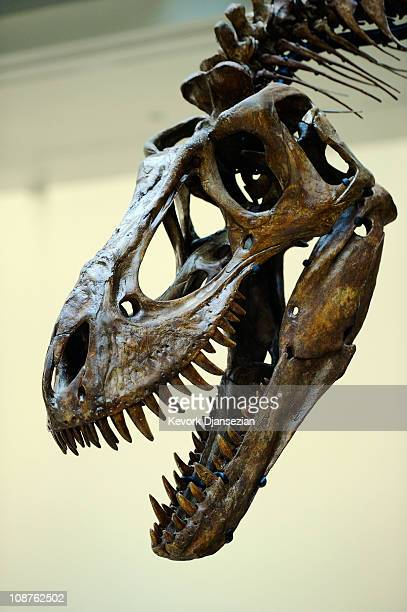 The skull of a juvenile Tyrannosaurus rex is part of an exhibit featuring three specimens of TRex in varying ages at the Natural History Museum of...
