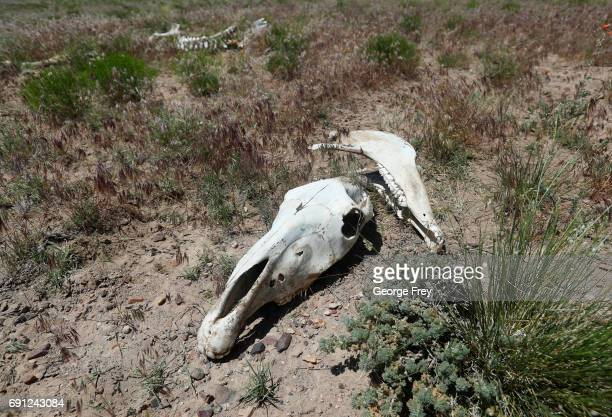 The skull of a wild horse that died of starvation and lack of water lie on state land outside federal disengaged horse management areas on May 31...