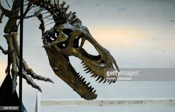 The skull of an juvenile Tyrannosaurus rex is part of an exhibit featuring three specimens of TRex in varying ages at the Natural History Museum of...