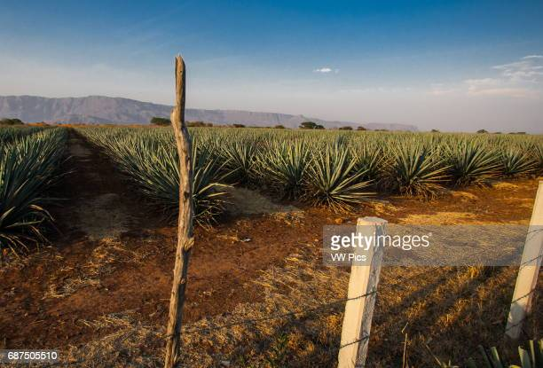 The small town of Tequila Jalisco is the origin and gives the name for the best known alcoholic beverage from M_xico The Blue Agave is found all...