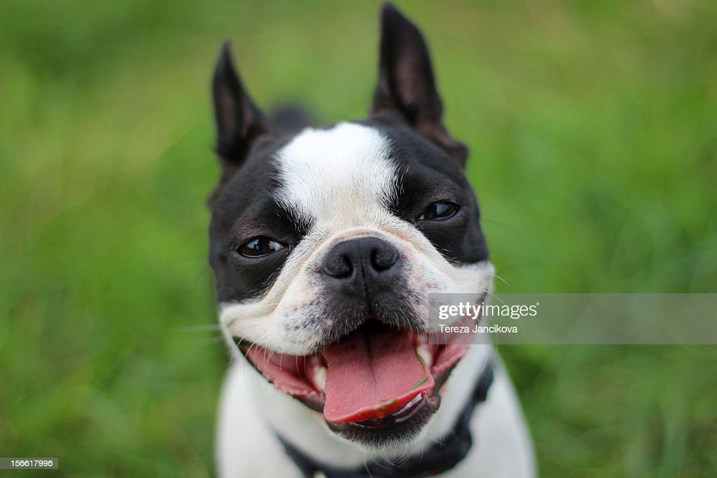 The smiling face of a Boston Terrier : Stock Photo