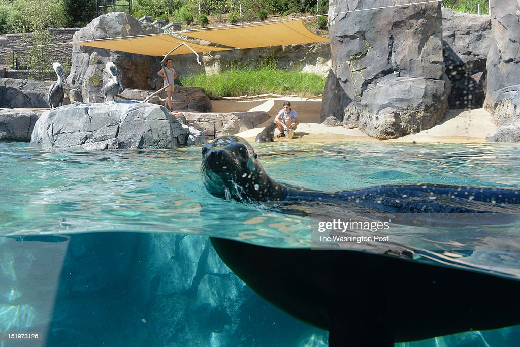 The Smithsonian National Zoological Park opens the New American Trail Exhibit to the public on Saturday Sept 1. The exhibit has been planning and constructing the area for five years. A main aspect is a 300,000-gallon sea lion pool. Above the california sea lions on the rock are two brown pelicans.