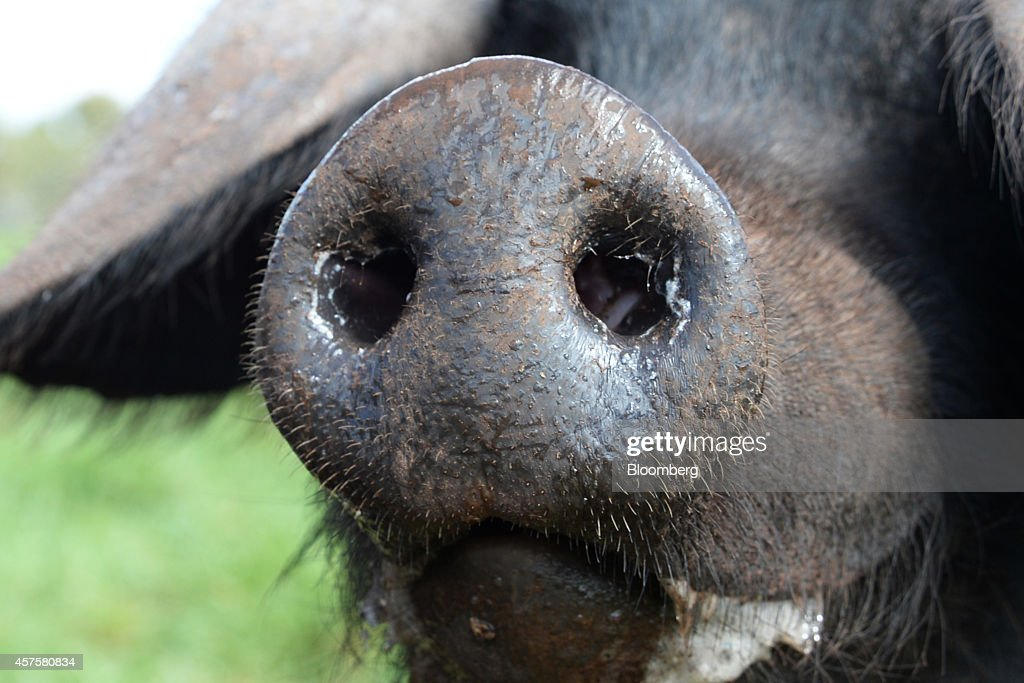 The snout of a Large Black heritagebreed pig is seen at independent freerange Jonai Farms and Meatsmith in Eganstown Australia on Monday Sept 29 2014...