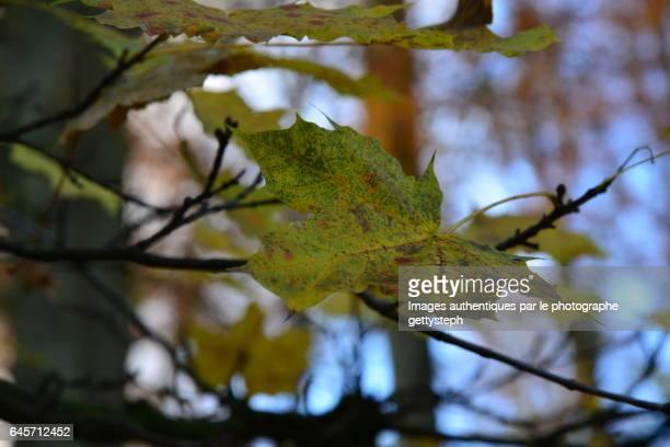 The solitary oak leaf on branch