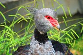 The Southern screamer bird portrait (Chauna torquata).