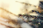The fir-tree branches sparkling on the sun in ice droplets.