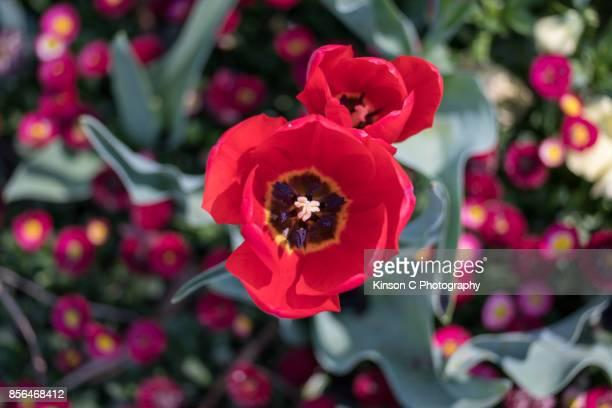 The stamen inside a red tulip