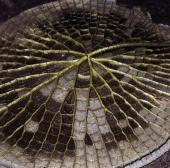 The sturdy ribs on the underside of a Giant water lily leaf Nymphaeaceae