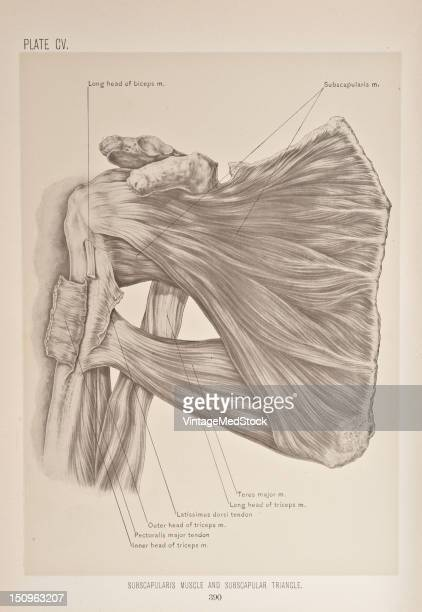 The subscapularis is a large triangular muscle which fills the subscapular fossa and inserts into the lesser tubercle of the humerus and the front of...