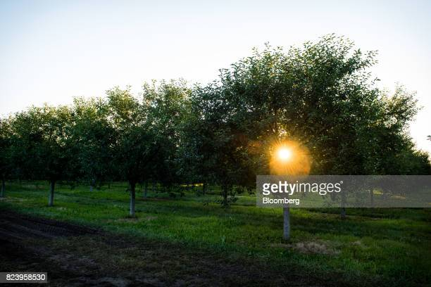 The sun is seen rising through Montmorency cherry trees in an orchard during harvest in Sturgeon Bay Wisconsin US on Monday July 24 2017 Door County...