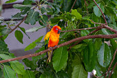 The sun parakeet beautiful colours of yellow, orange and red (Aratinga solstitialis), also known as the sun conure in South America perched in a tree.