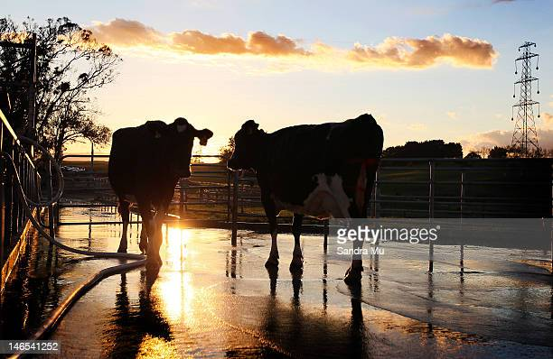The sun rises as cows walk from the milking shed at a dairy farm on April 18 2012 in Morrinsville New Zealand Raw milk sales are growing as more...