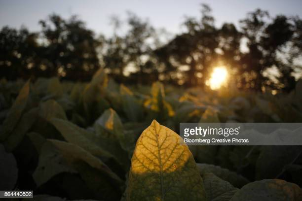The sun rises behind burley tobacco leaves in Kentucky