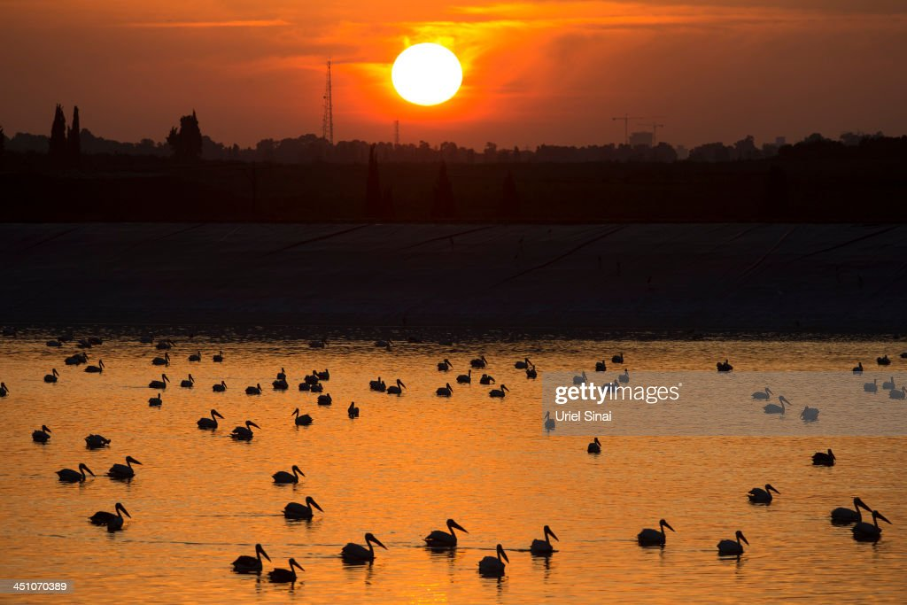 The sun sets as Migratory pelicans break their southward migration at an agricultural water reservoir on November 21, 2013 in Emek Hefer Valley, Israel. The thousands of pelicans which break their southward migration spend a few days at the reservoir feeding in farmers' fields and gathering their strength for their onward journeys. An estimated 500 million birds fly over the Holy Land twice a year in their annual migrations.