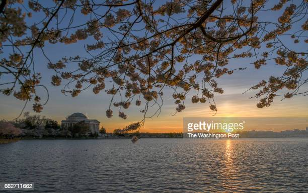The sun sets at the Tidal Basin with the yoshino cherry trees framing the Jefferson Memorial The weather has been fickle this spring but the trees...