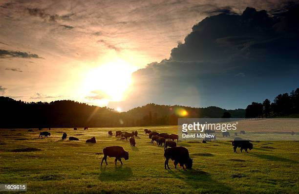 The sun sets behind a herd of bison in Wind Cave National Park August 14 2001 in the southern Black Hills of South Dakota Millions of bison were...