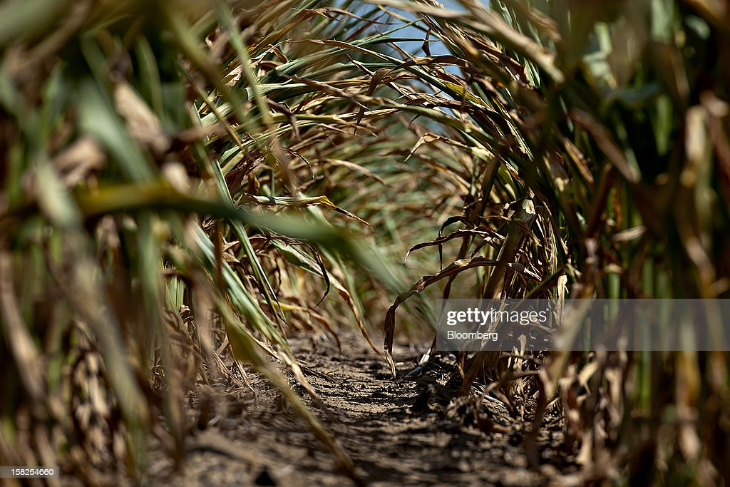 'BEST PHOTOS OF 2012' (): The sun shines on the dried leaves of corn plants suffering from a lack of moisture in Idaville, Indiana, U.S., on Friday, July 6, 2012. Corn and soybean inventories before the 2013 harvests also will be smaller than the U.S. Department of Agriculture estimated last month because drought is reducing this yearís harvest, according to the average of estimates in the survey. Photographer: Daniel Acker/Bloomberg via Getty Images