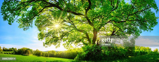 The sun shining through a majestic oak tree : Stock Photo