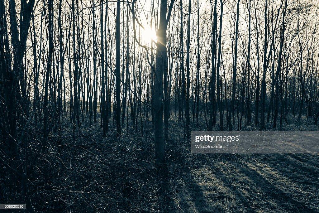 the sun shining through the creepy woods : Stock Photo