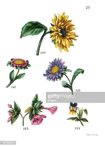 The sunflower the Callistephus or China Aster the Mirabilis jalapa or four o'clock flower and the field pansy Lithography From Die Vier Jahreszeiten...